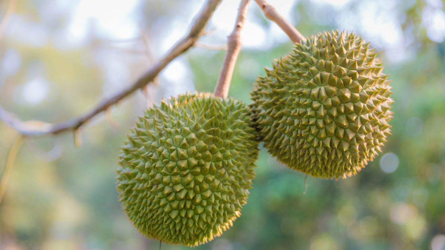 Want to know about the musang king durian fruit